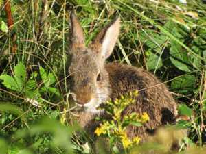 Researchers work to save endangered New England cottontail